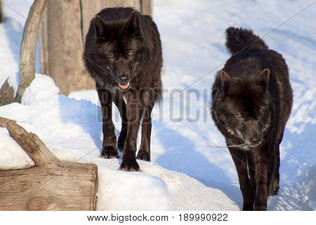 Two black canadian wolf are watching their prey. Animal wildlife.