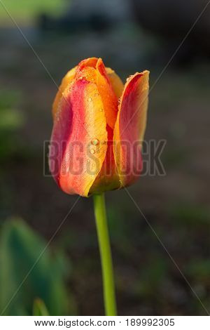 Yellow red tulip with dew drops closeup