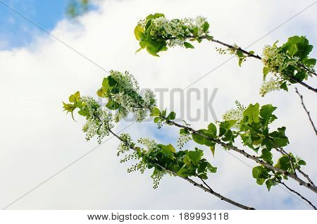 Cherry blossom in spring with blue sky
