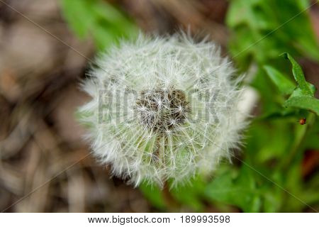 white dandelion fluff. Dandelion tranquil abstract closeup art background. dandelion air white beautiful meadow flower