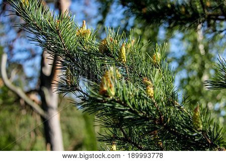 pine tree buds, cone.The view of pine branch with young green cones in summer sun Mountain pine