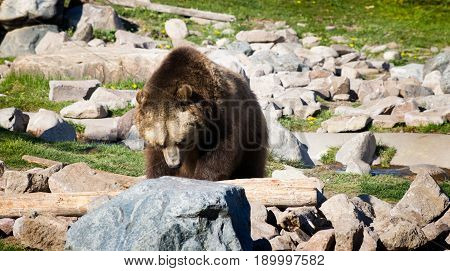 Close up of adult grizzly bear searching for food under rocks in the Grizzly and Wolf Discovery Center Yellowstone National Park.