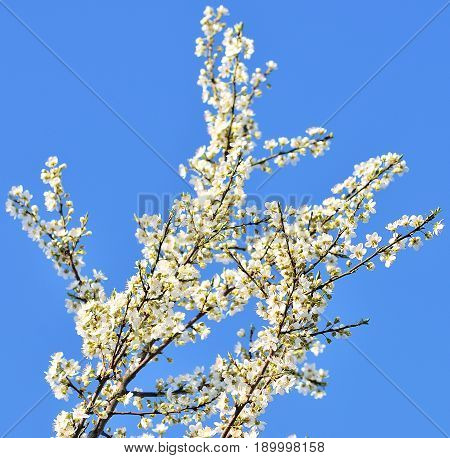 Cherry blossoms with nice background color . Spring time
