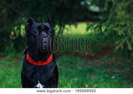 The dog breed italiano cane corso on a green grass