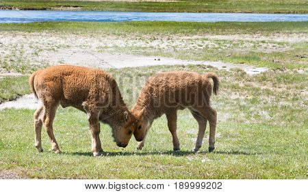 Two baby bisons butting heads in a playful way. Photographed in a grassy meadow in Yellowstone National Park.