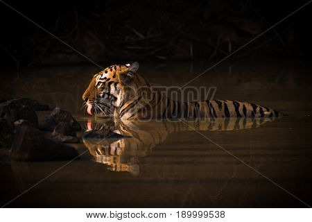 Bengal Tiger Drinking In Shadowy Water Hole