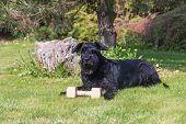 Obedient Giant Black Schnauzer Dog is lying at the garden with wooden toy. poster