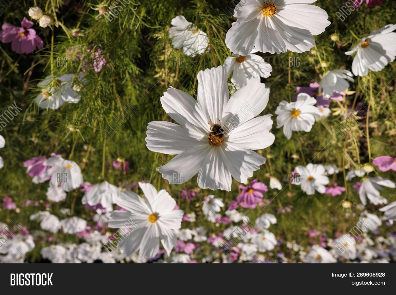Cosmea Cosmos Lat C Image Photo Free Trial Bigstock