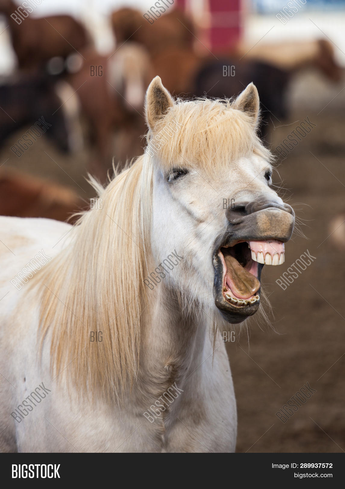 Funny Icelandic Horse Image Photo Free Trial Bigstock