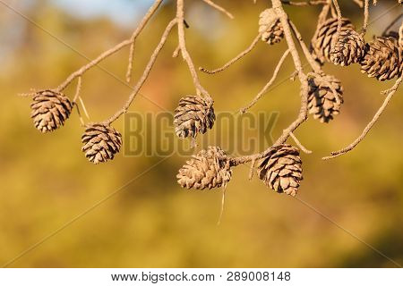 Cones On The Branches Of A Conifer Tree. Details Of Autumn Nature.