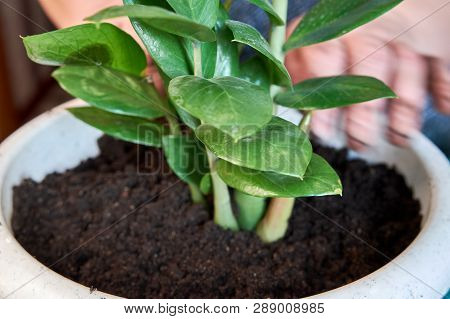 Planting Home Plants Indoors. Hands Of Woman Planting In The Flower Pot. Woman Potting Some Plants I