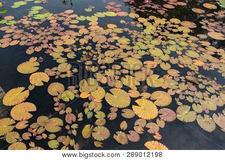Top View Landscape Of Lotus Pond. Colorful Of Lotus Pond - Image