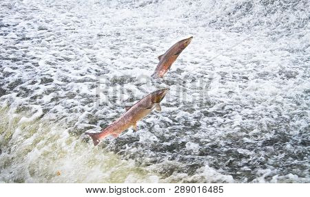 A Pair Of Atlantic Salmon (salmo Salar) Jumps Out Of The Water At The Shrewsbury Weir On The River S