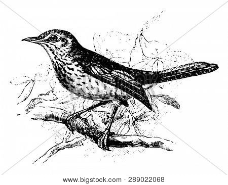 Fieldfare Perched on Branch is a bird in the Turdidae family of thrushes, vintage line drawing or engraving illustration.