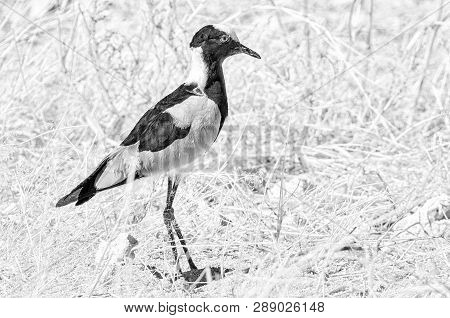 A Blacksmith Lapwing, Also Called A Blacksmith Plover, Vanellus Armatus In Northern Namibia. Monochr