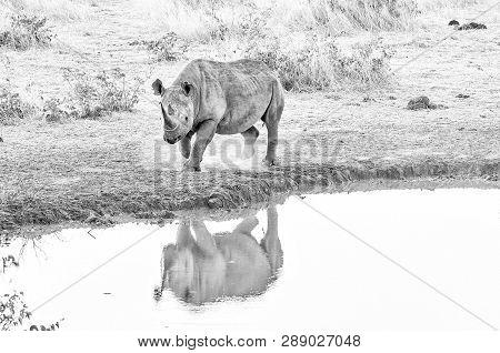 An Endangered Black Rhino, Diceros Bicornis, At A Waterhole In Namibia At Sunset. Monochrome