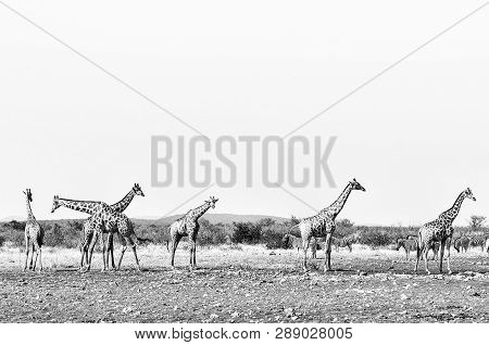 Six Giraffes And A Herd Of Burchells Zebras At The Rateldraf Waterhole In North-western Namibia. Mon