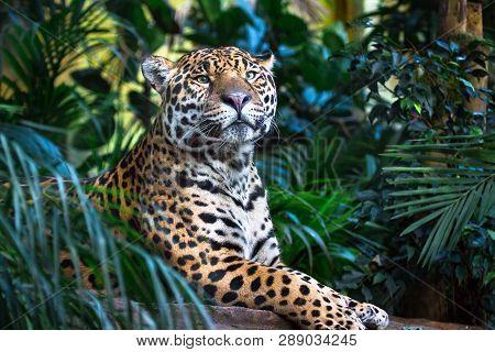 An Adult Jaguar (panthera Onca) Relaxing Among Jungle Vegetation.