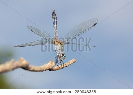 A Blue Dasher Dragonfly Does A Handstand On A Branch.  Positioned Vertically, The Insect Uses Its Wi