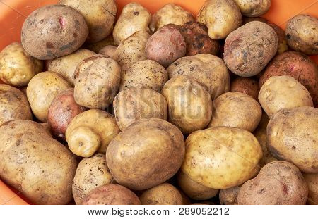 Lots Of Potatoes. Fresh Potato With Traces Of Earth On The Skin. Dirty Raw Potatoes In Large Quantit