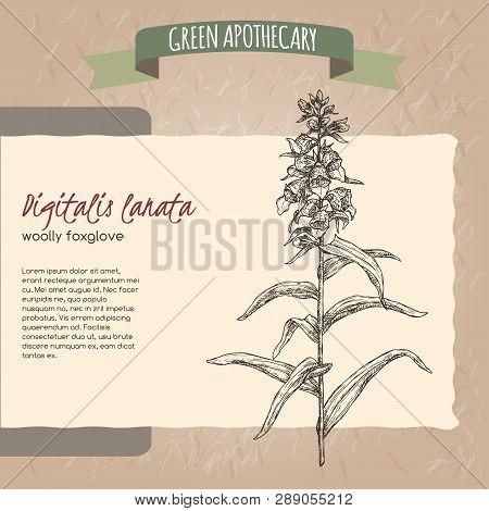 Digitalis lanata aka woolly foxglove sketch. Green apothecary series. poster