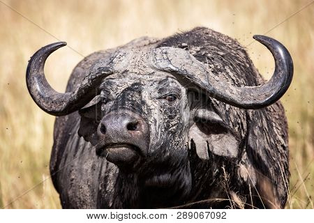 Female adult Cape buffalo, Syncerus caffer, coated in dried mud and surrounded by flies. Grasslands of the Masai Mara, Kenya