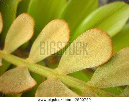 Lanate Leaves Background