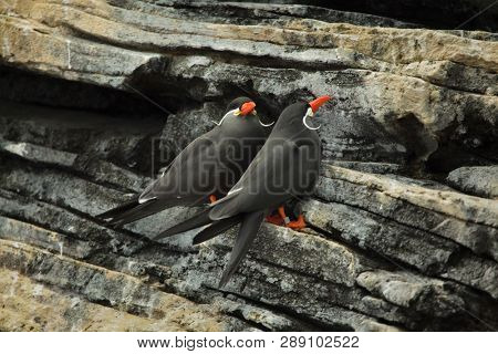 Inca tern (Larosterna inca). Wildlife bird.
