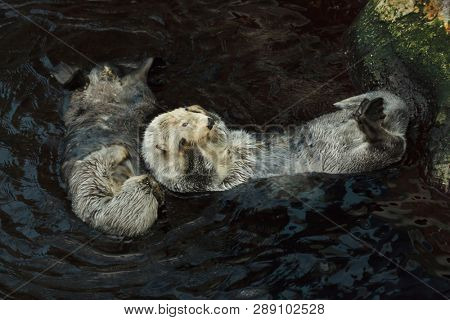 Sea otters (Enhydra lutris) swimming in the sea.