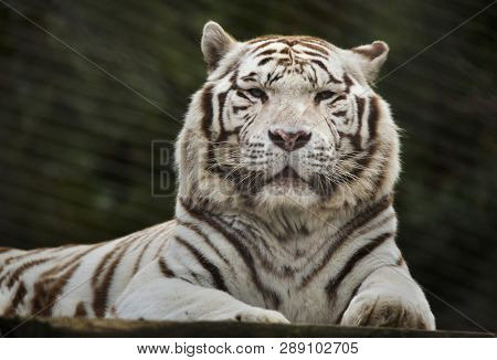 White tiger (Panthera tigris tigris). Wild life animal.
