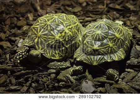 Indian star tortoise (Geochelone elegans). Wild life animal.