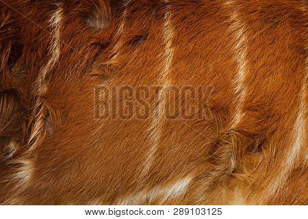 Forest sitatunga (Tragelaphus spekii gratus), also known as the forest marshbuck. Skin texture.