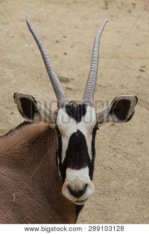 Gemsbok (Oryx gazella gazella), also known as the Southern oryx.