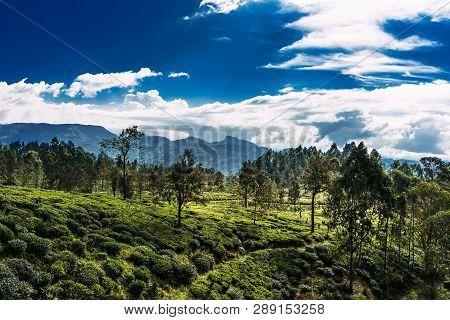 Large Tea Plantation. Green Tea In Mountains. Nature Of Sri Lanka. Tea In Sri Lanka. The Cultivation