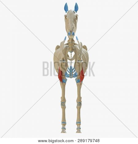 3d rendered medically accurate illustration of the equine muscle anatomy - Brachialis