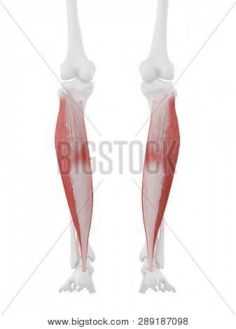 3d rendered medically accurate illustration of the Soleus