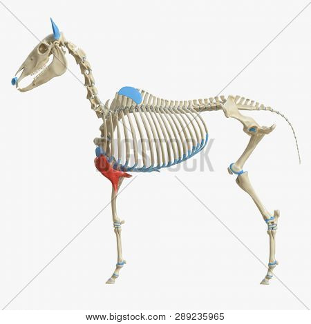 3d rendered medically accurate illustration of the equine muscle anatomy - Pectoralis Transversus