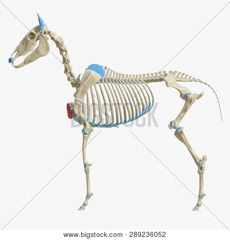 3d rendered medically accurate illustration of the equine muscle anatomy - Pectoralis Descendens