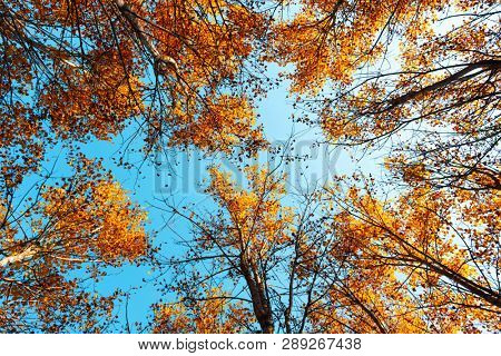 Orange birch tree with a blue sky on autumn forest. Nature beauty background