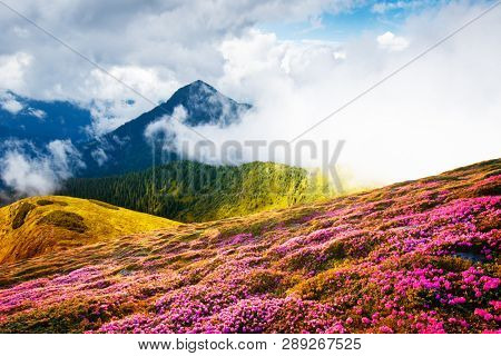 Colorful blooming rhododendron flowers in summer field in the Carpathian mountains. Splendid nature outdoor scene. World beauty concept background