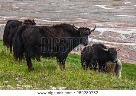 Yak Central Asia. The Domestic Yak Is A Long-haired Domesticated Bovid. It Is Descended From The Wil