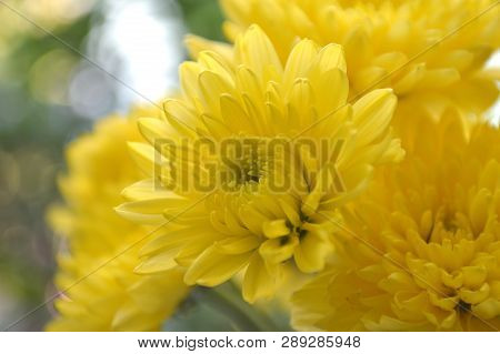 Yellow Chrysanthemums Flower, Chrysanthemum Sp., From Thailand