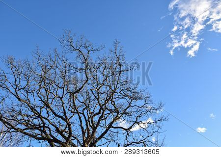 Top Of A Bare Old Oak Tree By A Blue Sky With White Clouds
