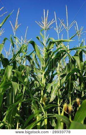maize against blue sky