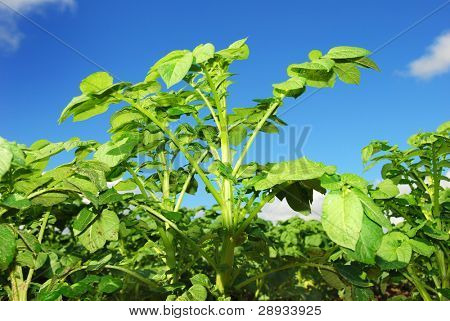 close-up of a healthy growing potato plant