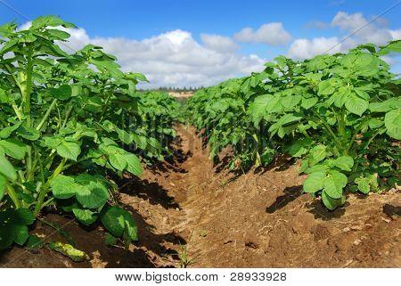 healthy growing potato plants