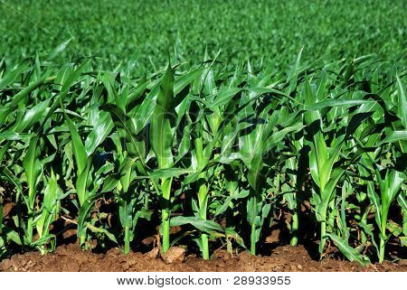 Healthy young maize plants growing beautyfully on the field