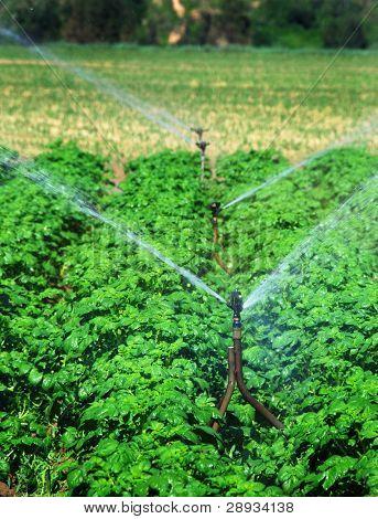sprinklers watering potatoe field