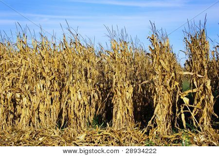 Rows of ripe maize before harvest