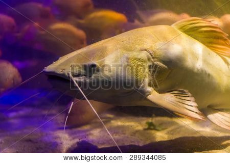 red tail catfish face in closeup, big fish from the amazon basin, popular fish in aquaculture and the fishing sport poster